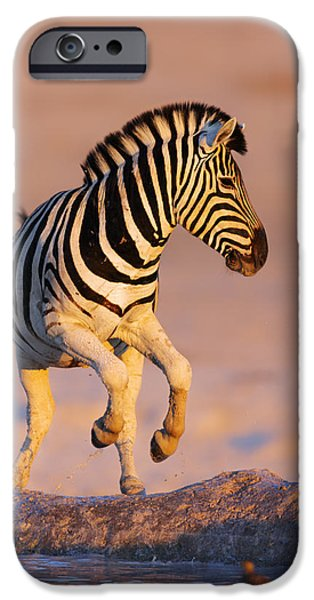 Environment Photographs iPhone Cases - Zebras jump from waterhole iPhone Case by Johan Swanepoel