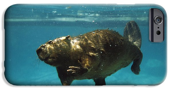 Beaver iPhone Cases - American Beaver Castor Canadensis iPhone Case by Konrad Wothe