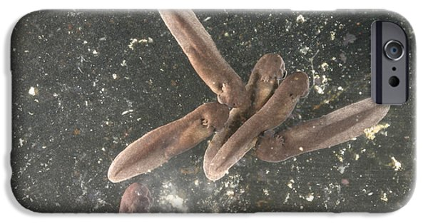Anuran iPhone Cases - American Toad Tadpoles iPhone Case by Ted Kinsman