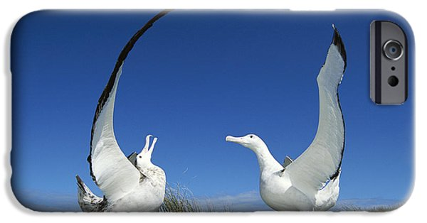Wildlife Celebration iPhone Cases - Antipodean Albatross Diomedea iPhone Case by Tui De Roy