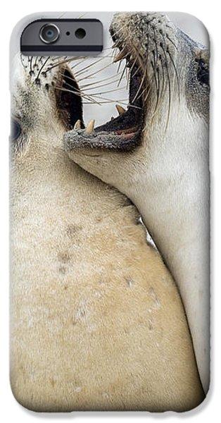 Australian Sea Lions iPhone Case by Tony Camacho
