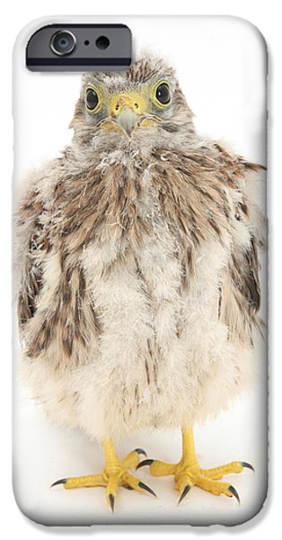Falcon iPhone Cases - Baby Kestrel iPhone Case by Mark Taylor