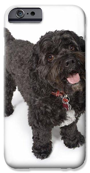Black Dog iPhone Cases - Black Bichon-cocker Spaniel Dog iPhone Case by Corey Hochachka