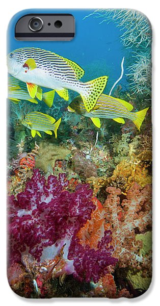Blue Banded Sweetlip Fish And Coral iPhone Case by Beverly Factor