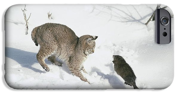 Lynx Rufus iPhone Cases - Bobcat Lynx Rufus Hunting Muskrat iPhone Case by Michael Quinton