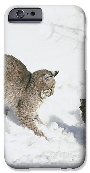Bobcat Lynx Rufus Hunting Muskrat iPhone Case by Michael Quinton