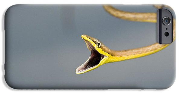 Warn In iPhone Cases - Brown Vine Snake, Oxybelis Aeneus iPhone Case by Jack Goldfarb