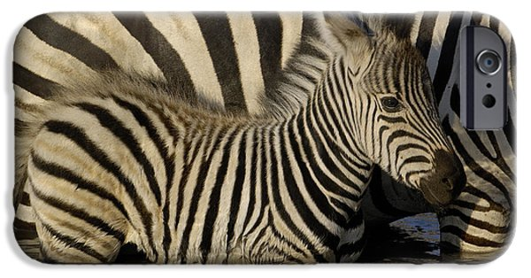 Three-quarter Length iPhone Cases - Burchells Zebra Equus Burchellii Foal iPhone Case by Pete Oxford