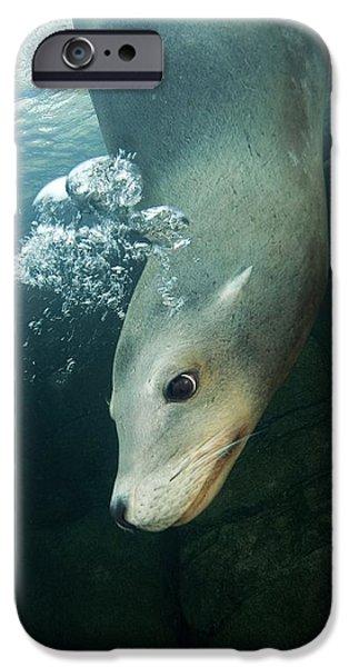 California Sea Lion iPhone Case by Alexis Rosenfeld