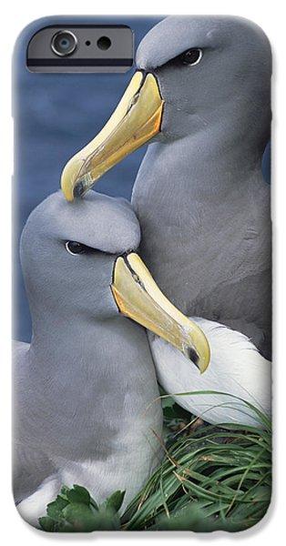 Chatham iPhone Cases - Chatham Albatross Thalassarche Eremita iPhone Case by Tui De Roy