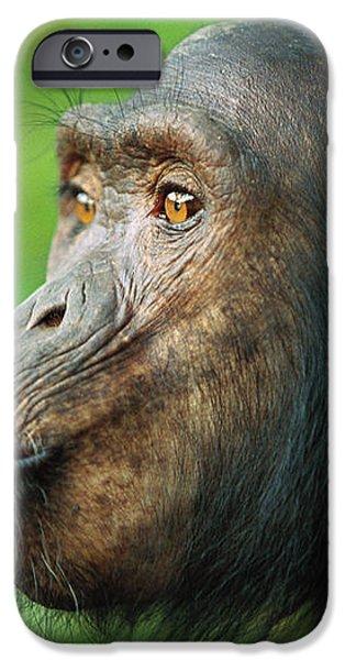 Chimpanzee Pan Troglodytes Adult Female iPhone Case by Cyril Ruoso