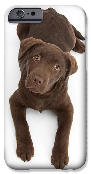 Chocolate Lab iPhone Cases - Chocolate Labrador Pup iPhone Case by Mark Taylor