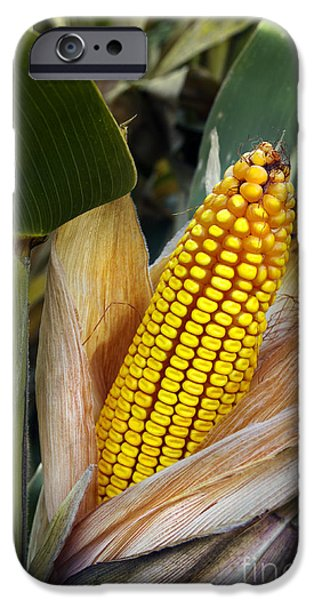 Agriculture iPhone Cases - Corn Cob iPhone Case by Carlos Caetano