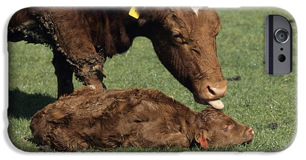 Parental Care iPhone Cases - Cow And Calf iPhone Case by David Aubrey