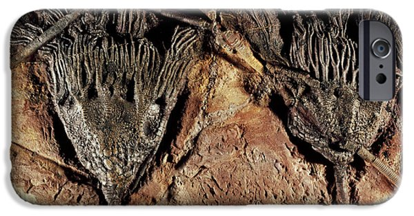 Palaeontology iPhone Cases - Crinoid Fossils iPhone Case by Dirk Wiersma