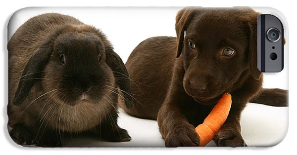 Chocolate Lab iPhone Cases - Dog Steals Rabbits Carrot iPhone Case by Jane Burton