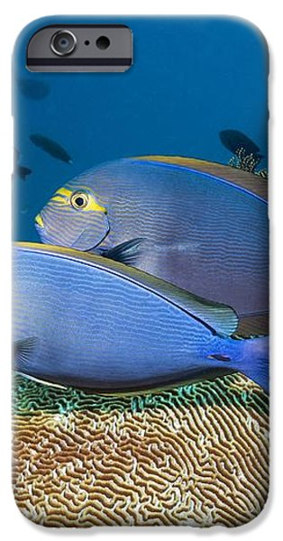 Elongate Surgeonfish iPhone Case by Georgette Douwma