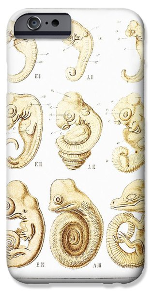 Wildlife Imagery iPhone Cases - Embryonic Development, Historical Artwork iPhone Case by Mehau Kulyk