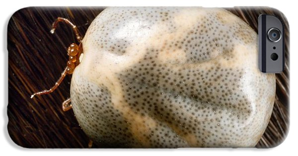 Staris iPhone Cases - Engorged Lone Star Tick iPhone Case by Science Source