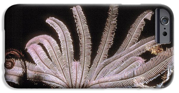 Plankton iPhone Cases - Featherstar iPhone Case by Peter Scoones