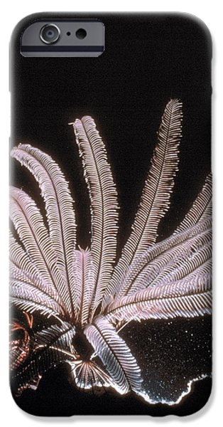 Featherstar iPhone Case by Peter Scoones