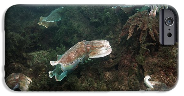 Aquatic Display iPhone Cases - Giant Cuttlefish iPhone Case by Georgette Douwma
