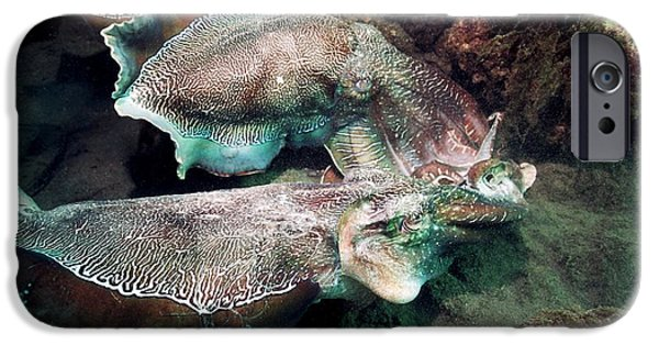 Aquatic Display iPhone Cases - Giant Cuttlefish In Display Combat iPhone Case by Georgette Douwma