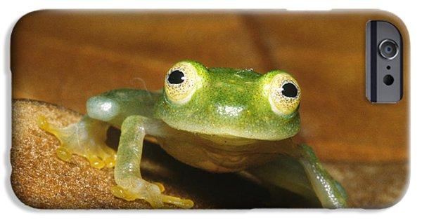 Anuran iPhone Cases - Glass Frog iPhone Case by Dante Fenolio
