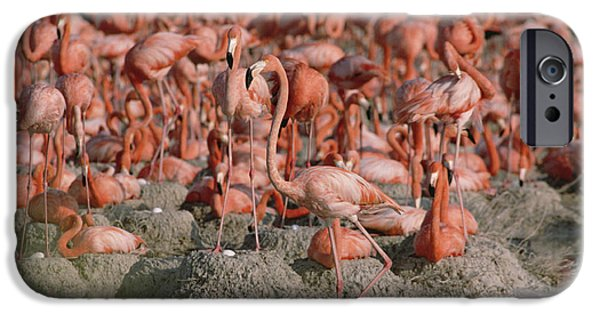 Birds iPhone Cases - Greater Flamingo Phoenicopterus Ruber iPhone Case by Gerry Ellis