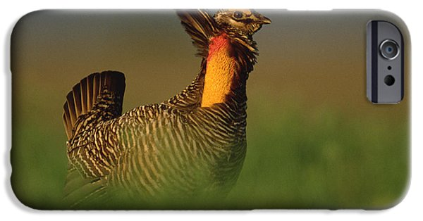 Wildlife Celebration iPhone Cases - Greater Prairie Chicken Male iPhone Case by Tim Fitzharris