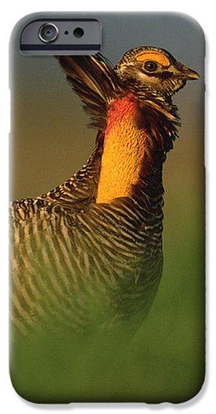 Greater Prairie Chicken Male iPhone Case by Tim Fitzharris