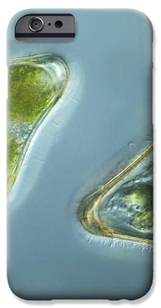 Green Algae, Light Micrograph iPhone Case by Frank Fox
