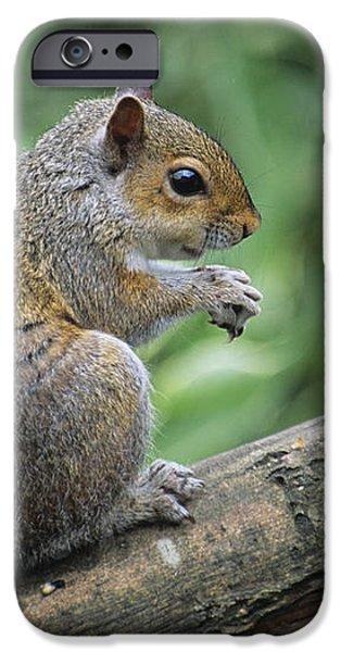 Grey Squirrel iPhone Case by David Aubrey