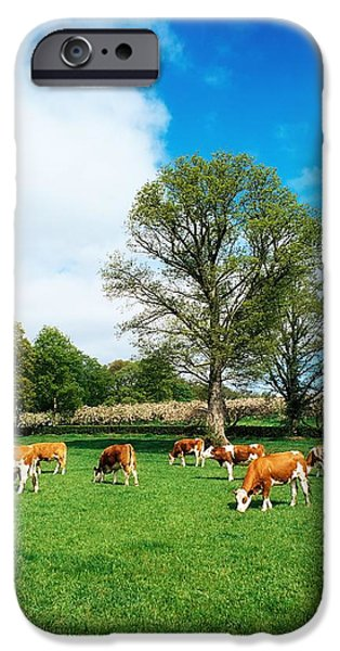 Fed iPhone Cases - Hereford Bullocks iPhone Case by The Irish Image Collection