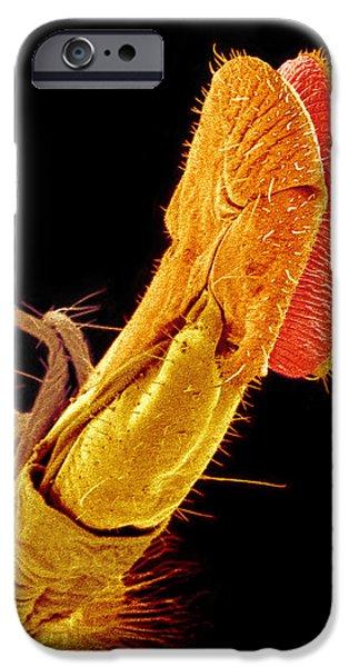 Hover Fly Proboscis, Sem iPhone Case by Susumu Nishinaga