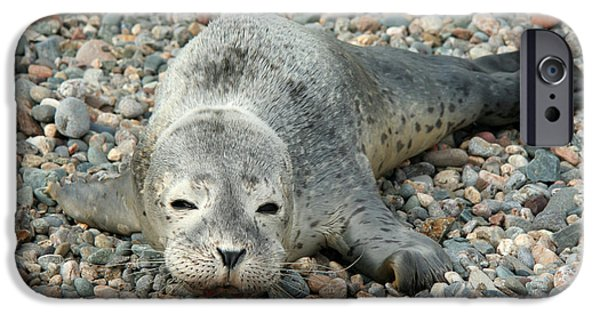 Ocean Mammals iPhone Cases - Injured Harbor Seal iPhone Case by Ted Kinsman