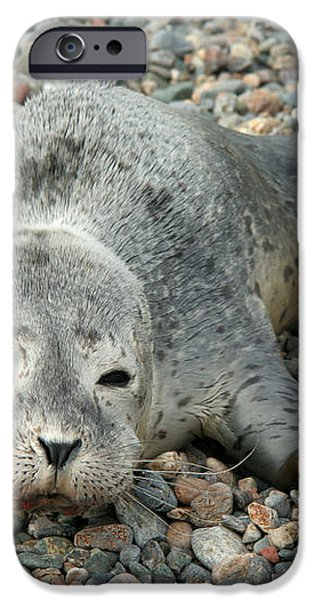Injured Harbor Seal iPhone Case by Ted Kinsman