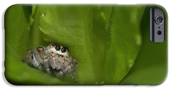 Jumping Spiders iPhone Cases - Jumping Spider  iPhone Case by Sharon  Talson