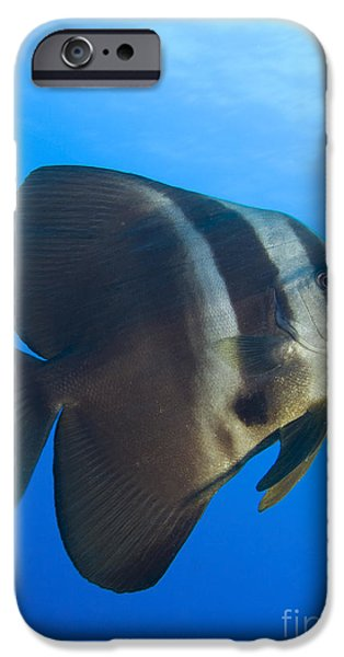Longfin Spadefish, Papua New Guinea iPhone Case by Steve Jones