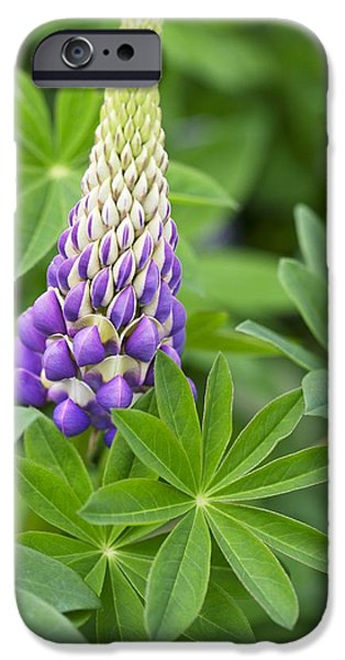 Lupinus Tom Tom The Piper's Son iPhone Case by Jon Stokes