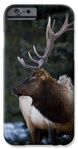 Male Elk Cervus Canadensis iPhone Case by Richard Wear