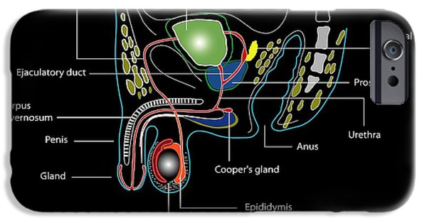 Intestines iPhone Cases - Male Genitourinary System, Artwork iPhone Case by Francis Leroy, Biocosmos