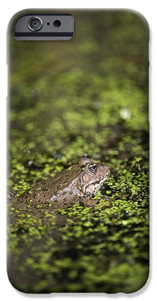 Marsh Frog iPhone Case by Louise Murray