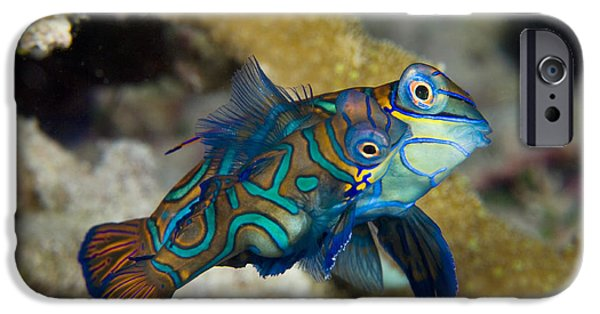 Aquatic Display iPhone Cases - Mating Mandarinfish iPhone Case by Matthew Oldfield