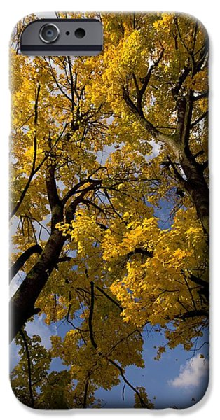 Norway iPhone Cases - Norway Maples (acer Platanoides) iPhone Case by Bob Gibbons