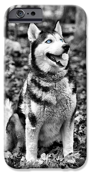 Sled Dog iPhone Cases - Ole Blue Eyes iPhone Case by JC Findley