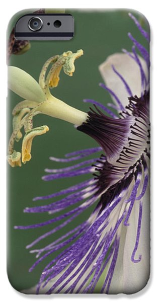 Passiflora iPhone Cases - Passion Flower iPhone Case by Archie Young