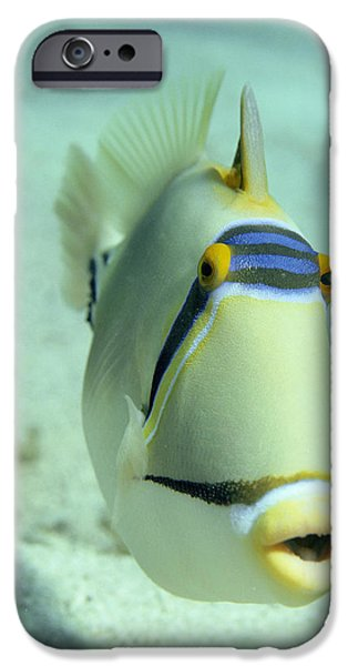 Parental Care iPhone Cases - Picasso Triggerfish iPhone Case by Georgette Douwma