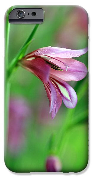 Gladioli iPhone Cases - Pink flowers of Gladiolus Communis iPhone Case by Frank Tschakert