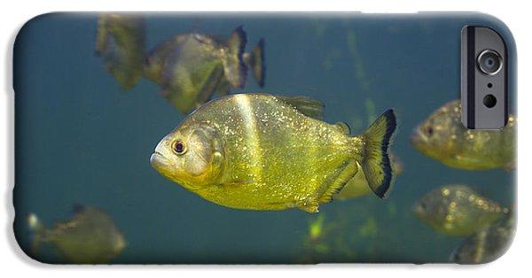 Piranha iPhone Cases - Piranhas iPhone Case by Peter Scoones